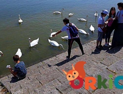 Hranjenje labudova na Dunavu